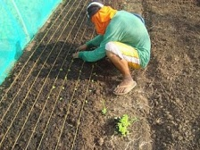 image of planting employing spacing of seedlings